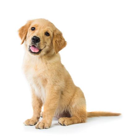 homme détouré: Un portrait d'un chien Golden Retriever mignon assis sur le plancher, isolé sur fond blanc Banque d'images