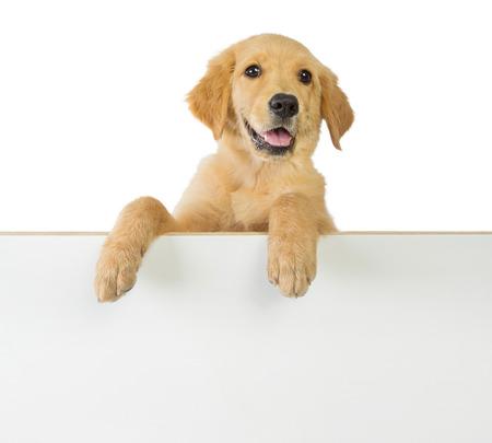A portrait of a cute Golden retriever dog holding a broad plank