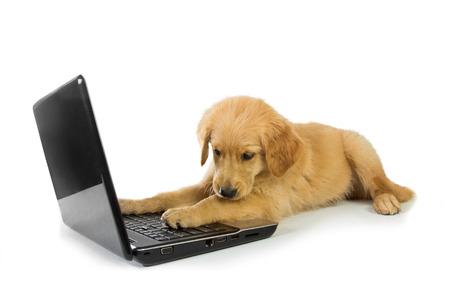 puppy love: Un retrato conceptual de un perro perdiguero de oro que pone en el suelo jugando con un ordenador portátil, aislado en fondo blanco, el concepto