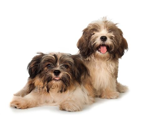 havanese: A portrait of Two happy havanese dog, one sitting while other laying on the floor, isolated on white background Stock Photo