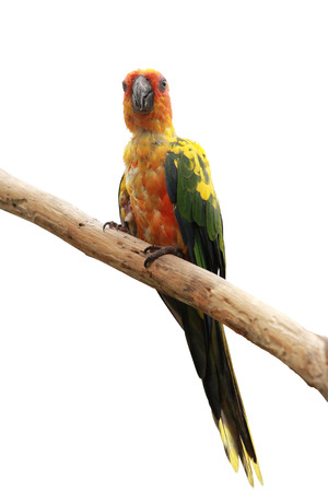 squealing: Sun Conure Parrot bird perching on a branch, white background