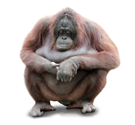 A portrait of an Orang Utan sitting on white background Stock Photo