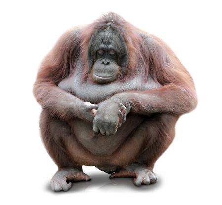 orang: A portrait of an Orang Utan sitting on white background Stock Photo