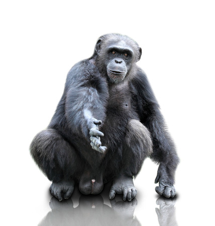 chimpanzee: A portrait of a gorilla sitting on white background offering shake hand, isolated Stock Photo