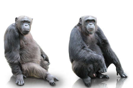 A portrait of a gorilla sitting on white background, isolated