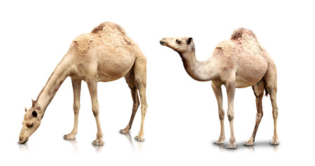A portrait of Two camels isolated in white background Stockfoto