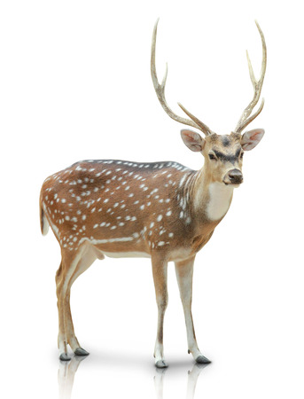 spotted fur: A portrait of a Chital, Spotted deer isolated in white background