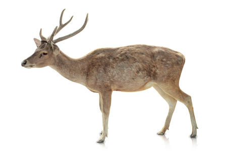 tines: A portrait of a Horned deer isolated in white background Stock Photo