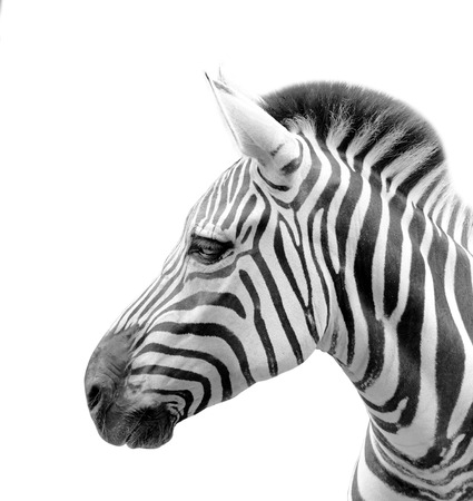 A close up potrait of the head of zebra isolated in white background
