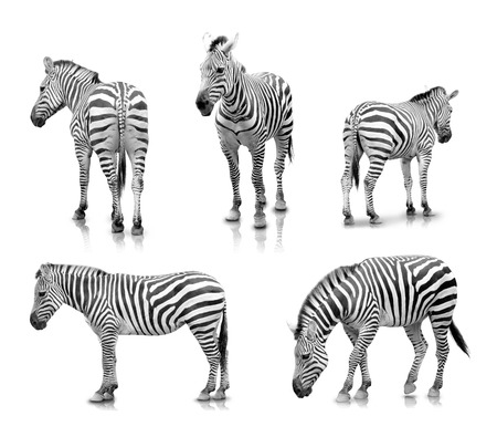 A portrait of Zebras in many angles and poses, isolated in white background Stock Photo