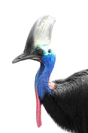wingless: A portrait of a Cassowary isolated in white background, focused on head