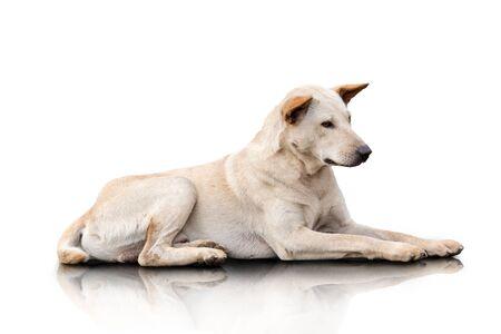 soledad: Un retrato de un perro mestizo de color cremoso que pone en el suelo. aislado sobre fondo blanco