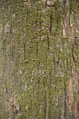 A portrait of beautiful background of a large tree bark and moss, close up