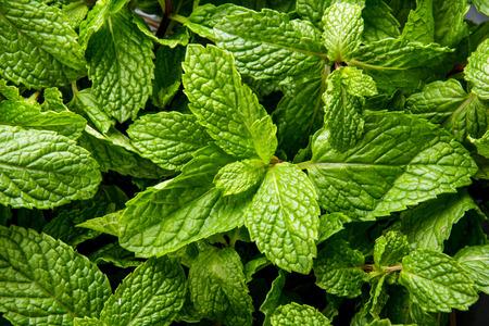 menta: cerca retrato de hojas de menta fresca Foto de archivo