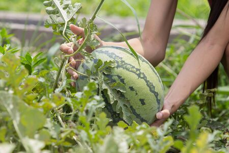 tree farming: close up of a hand harvesting watermelon