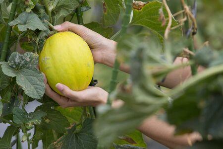 close up of a hand harvesting melon