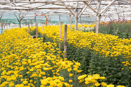 Field of yellow chamomile flowers in the farm