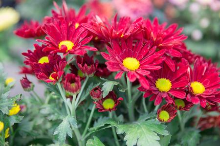 portrait of beautiful camomile or daisy flower Zdjęcie Seryjne