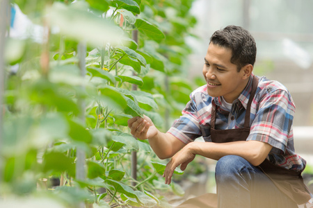 young asian male farmer checking the quality of the plant in the green house. modern hydrophonic farming