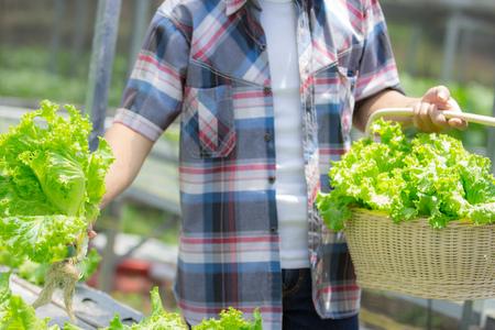 portrait of hand harvesting lettuce at hydroponic farm