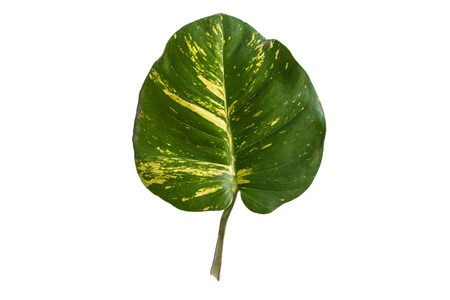 portrait of tropical leaves isolated on white background 版權商用圖片