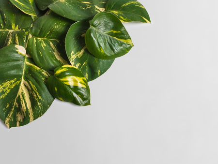 portrait of tropical leaves assorted on grey background with copy space 版權商用圖片