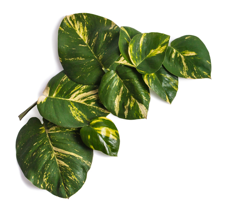portrait of tropical leaves assorted and isolated on white background