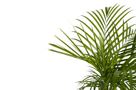 portrait of exotic tropical palm leaves isolated on white background with copy space