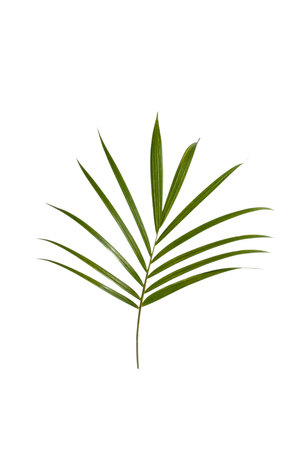 portrait of green tropical leaves of palm tree isolated on white background