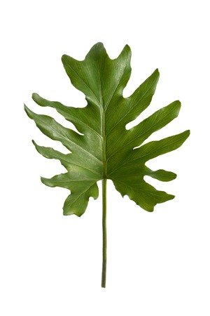 full portrait of green exotic tropical leaves isolated on white background Stock fotó