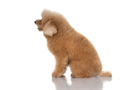 miniature poodle dog isolated