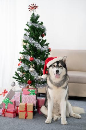siberian Husky dog with christmas tree Stockfoto
