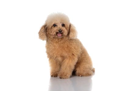 Zwergpudelhund isoliert Standard-Bild