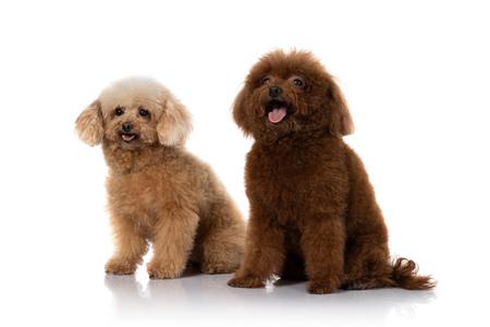 miniature poodle dog isolated