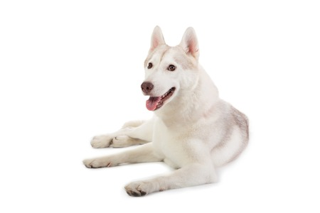 lazy siberian husky sitting on the floor with tongue sticking ou