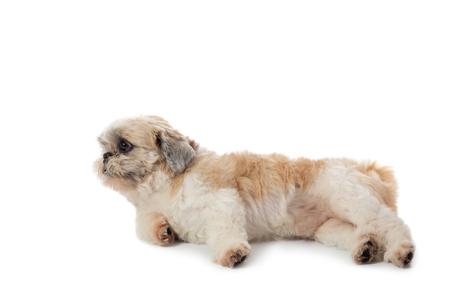 cute lazy shih tzu dog lying on the floor Stock Photo