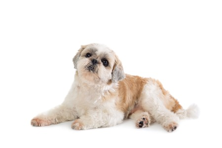 cute lazy shih tzu dog lying on the floor Stock Photo