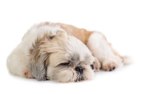 cute shih tzu dog sleeping on the floor