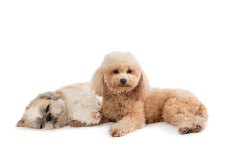 lazy shih tzu and poodle lying on the floor together