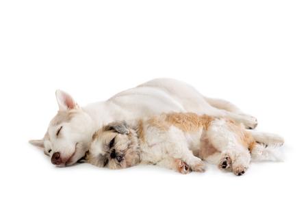 lazy siberian husky and shih tzu sleeping together on the floor