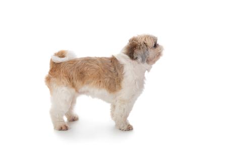 cute little shih tzu dog 写真素材 - 113702589