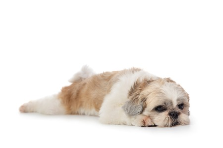 cute lazy shih tzu dog lying on the floor 스톡 콘텐츠