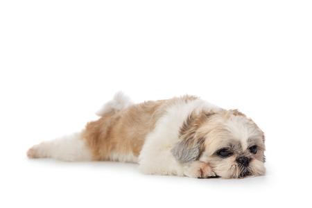 mignon chien shih tzu paresseux allongé sur le sol Banque d'images