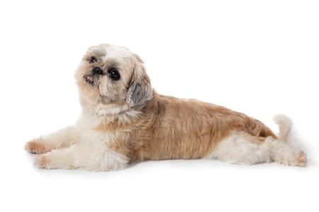 cute lazy shih tzu dog lying on the floor 写真素材