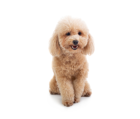 cute curly-haired poodle looking at camera Stock Photo