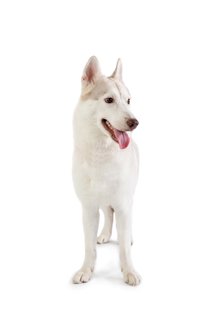 gorgeous siberian husky with tongue sticking out 스톡 콘텐츠