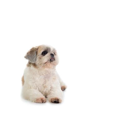 shih tzu dog sitting on the floor 写真素材 - 113702638