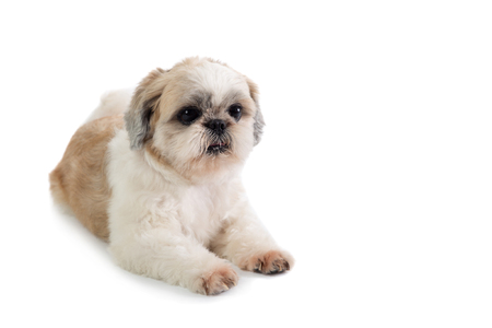 shih tzu dog sitting on the floor