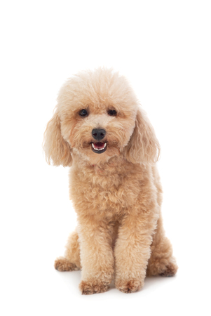 cute curly-haired poodle looking at camera Stock fotó