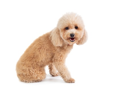 cute curly-haired poodle looking at camera Imagens